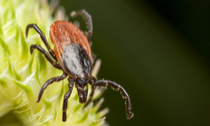 Closeup of a red backed tick on a green plant