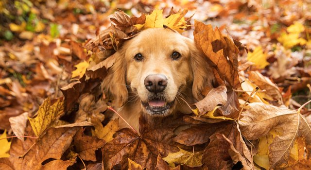A picture of a dog hiding in a pile of leaves