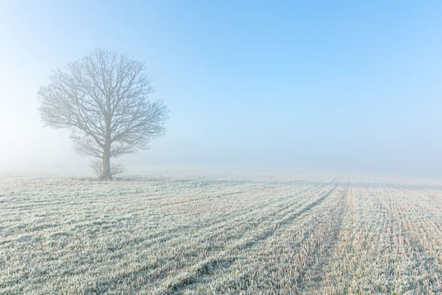 A tree in a frosty field in the UK