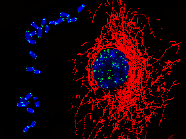 A montage of two images taken with a microscope, showing mitochondria (red) and telomeres (green) in an embryonic heart muscle cell.